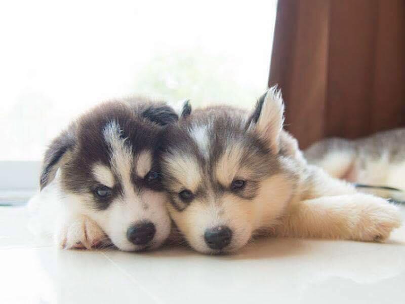Hướng dẫn phân biệt chó Husky Sibir thuần chủng