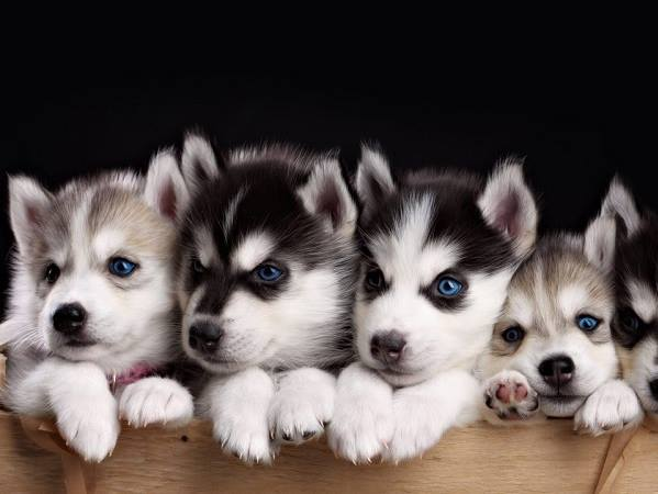 Cách mua chó Husky Sibir con giá rẻ