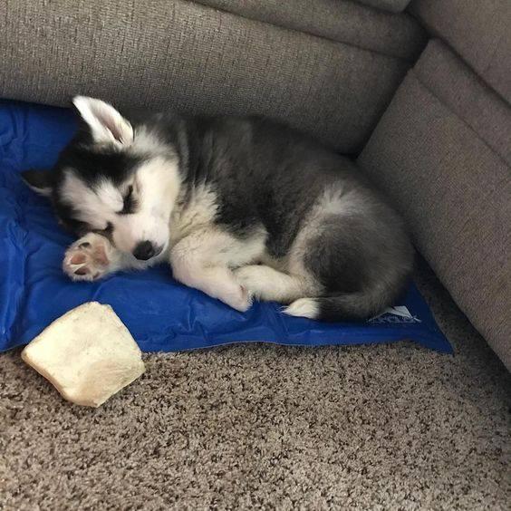 Nuôi chó Husky thuần chủng