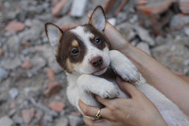 Hình ảnh chó husky lai becgie đáng yêu